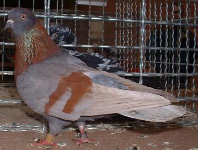 clean legged tumbler pigeons - fancy pigeons - Culbutant de Brod