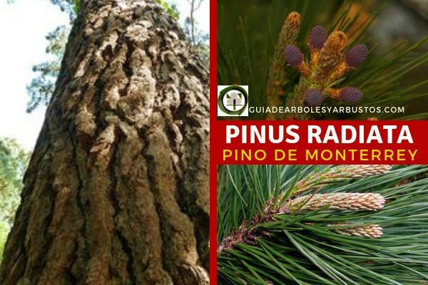 El Pinus radiata, pino de monterrey, árbol de la familia Pinacea, se ha empleado en la obtención de pasta de papel