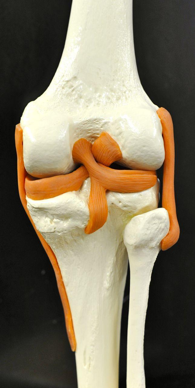 Human Anatomy Lab: Knee Joint Model