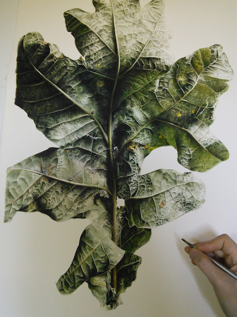 English Oak (Quercus robur) botanical illustration Jess Shepherd