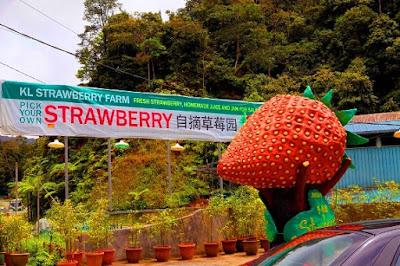 Kok Lim Strawberry Farm Ladang strawberry cameron higland brinchang
