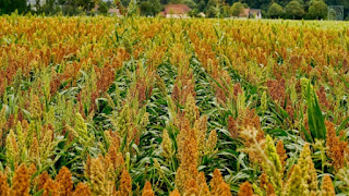 Sorghum a cereal grain is the fifth most important cereal crop in the world.
