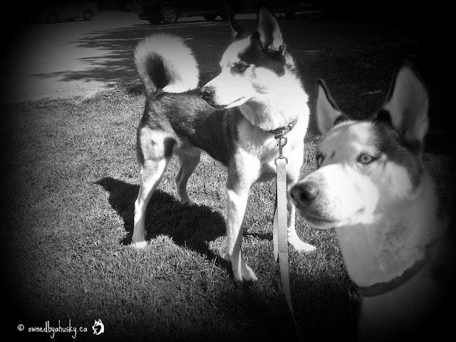 Siberian Husky - Fun With Black And White