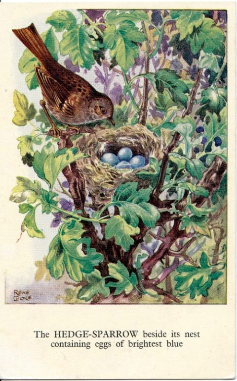 Rene Cloke Postcard The hedge sparrow