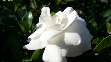 Flamante flor de gardenia