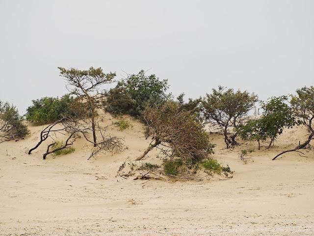 Vom Sand schon teilweise überwehte Vegetation