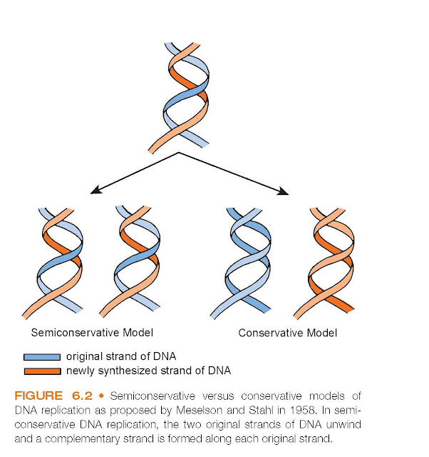 Semiconservative versus conservative models of DNA replication as proposed by Meselson and Stahl in 1958. In semiconservative DNA replication, the two original strands of DNA unwind and a complementary strand is formed along each original strand.