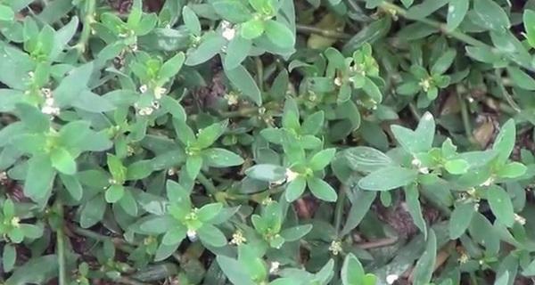 aceasta planta miraculoasa este foarte des ignorata
