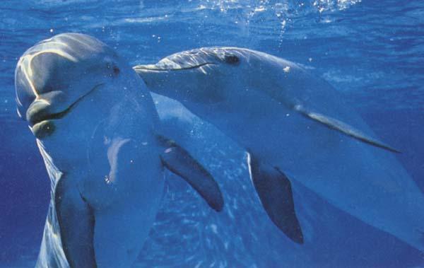 White Wolf : Japanese Island of Toshima makes Dolphins ... - photo#38