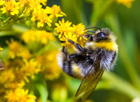 Bumblebee (Credit: Shutterstock) Click to Enlarge.
