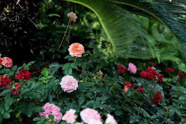 vuong quoc hoa hong flamingo