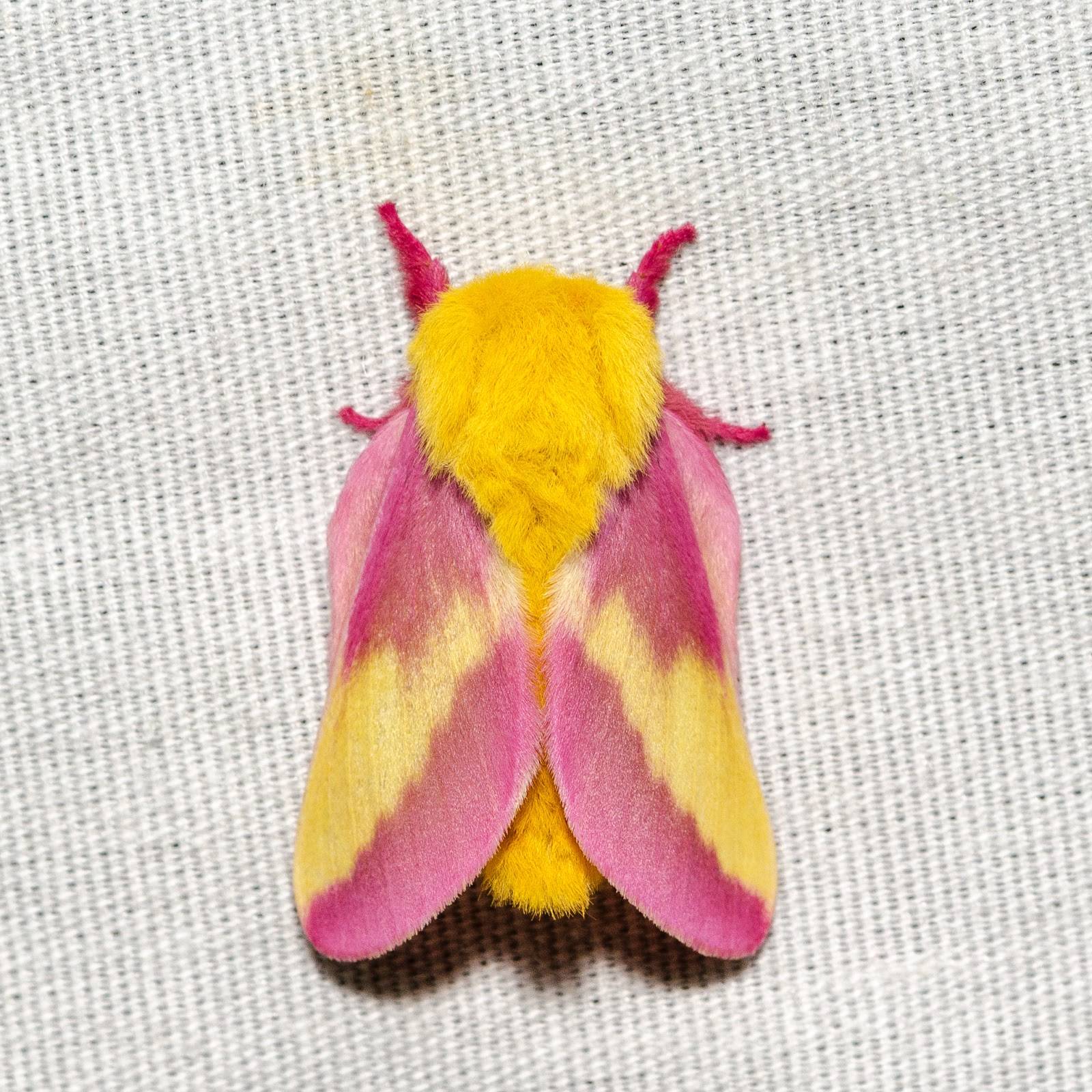 Rosy Maple Moth (Dryocampa rubicunda) Ohio