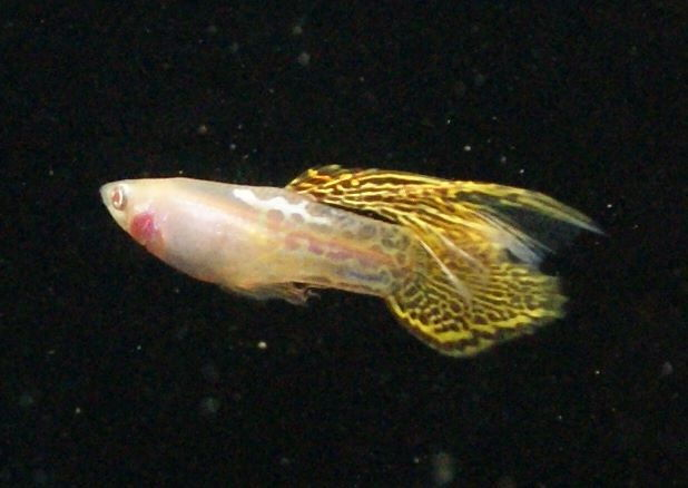 Gambar Jenis Ikan Guppy Speartail Fancy