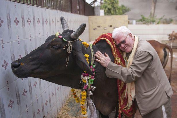 Ritual Meminum Urin Sapi Di India