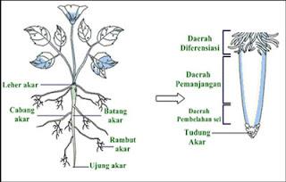 Struktur bagian luar akar (Morfologi akar)