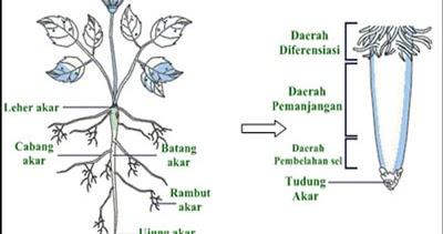 Akar Tumbuhan Fungsi Struktur Dan Jenis Jenis Akar Juragan Les