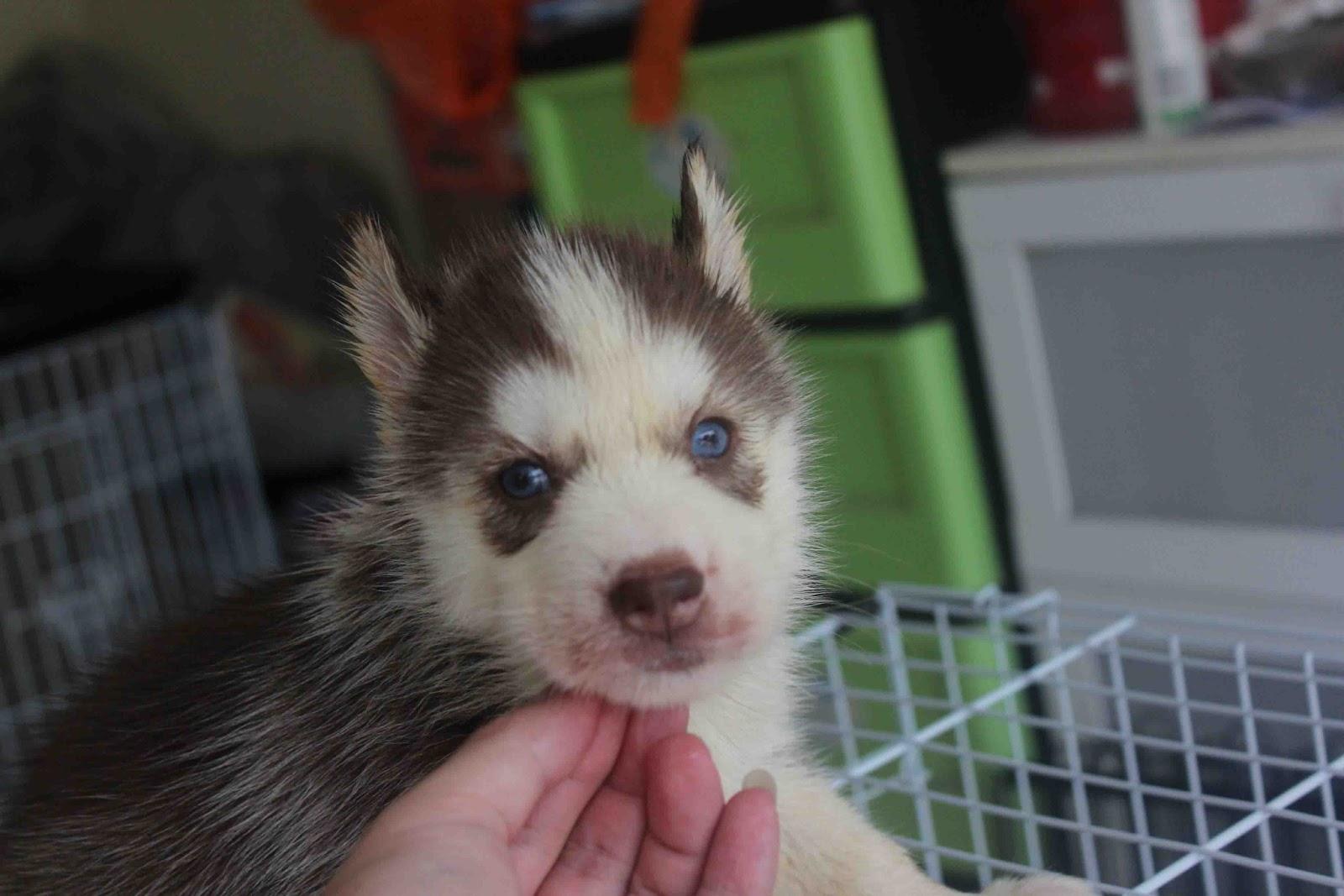 LovelyPuppy: Dark Copper Blue Eyes Female Siberian Husky Puppy