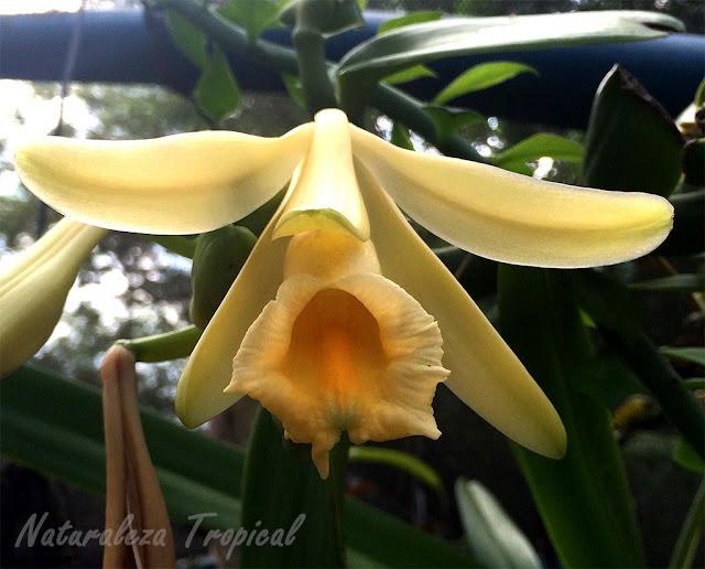 Flor de la orquídea Vainilla, Vanilla planifolia