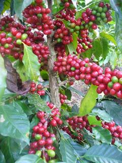 las 10 mejores variedades de café