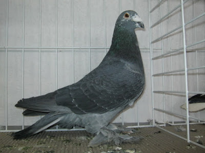 giant hungarian homer pigeons