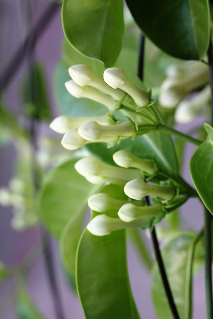 Stephanotis floribunda (Madagascar jasmine) buds bunch