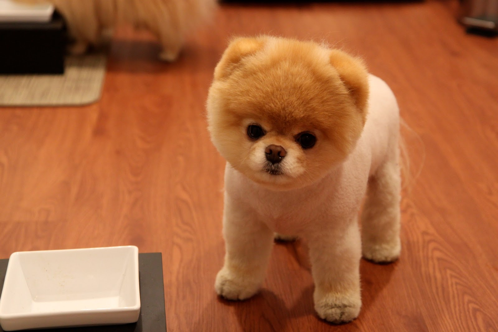 pomeranian boo dogs the world s cutest dog life news 7402