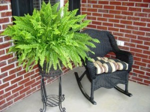 Boston fern, top air-purifying plant
