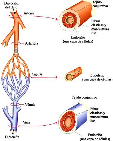 Dibujo de los Vasos sanguíneos y sus partes
