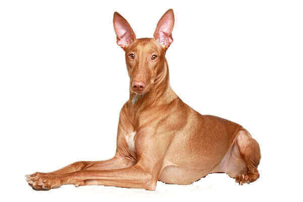 Pharaoh Hound puppies black mix breeders dog rescue price blushing colors dogs