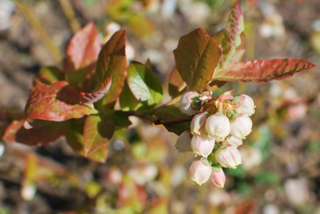 red leaves and white flowers of Blueberry