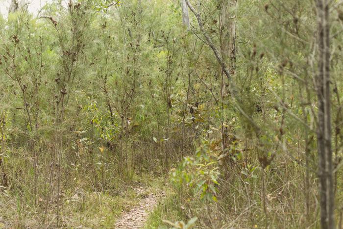 banksia trees
