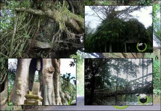8 Penampakan Bentuk Pohon Teraneh dan Terunik di Indonesia