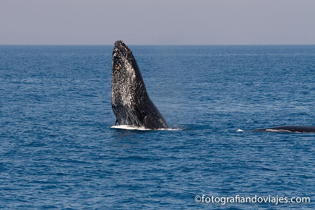 ballenas en Hervey Bay, Australia