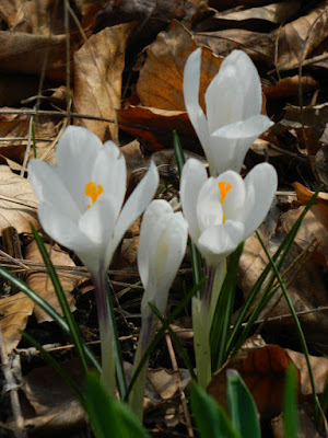 White Crocus spring blooms at Toronto Botanical Garden by garden muses-not another Toronto gardening blog
