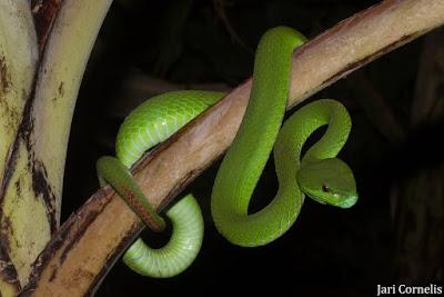 ular hijau buntut merah, ular hijau berbahaya atau tidak, ular hijau berbuntut merah, ular hijau bahaya atau tidak, ular hijau berbisa tidak, ular hijau coklat, ular cabe hijau, ular hijau ekor coklat, ular hijau vs cobra, ular warna hijau coklat, cara ular hijau beranak, ular kepala hijau badan coklat