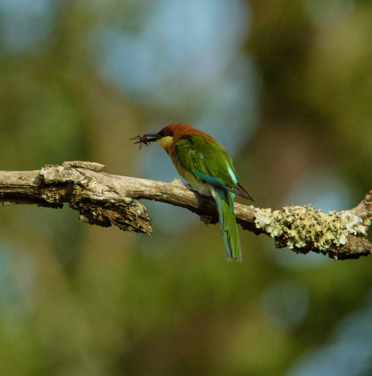Chestnut-headed bee-eater photos | Birds of India | Bird World - photo#4