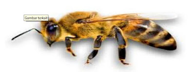 gambar lebah apis cerana