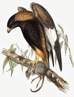 Ratonero pecho negro Hamirostra melanosternon