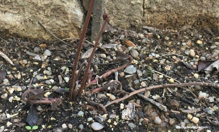 Cyclamen hederifolium Aiton