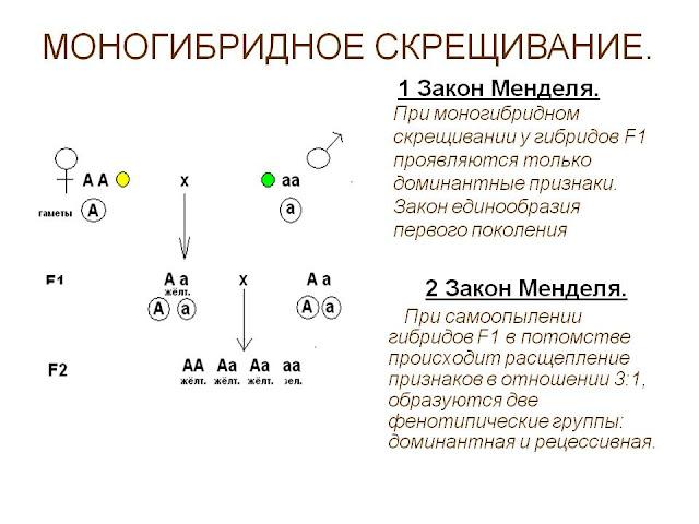 Моногибридное скрещивание двух гетеротрофных особей