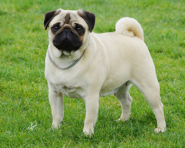 Cream coloured Pug standing outside