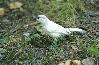 Mésange à tête noire (Poecile atricapillus ) - Leucistique