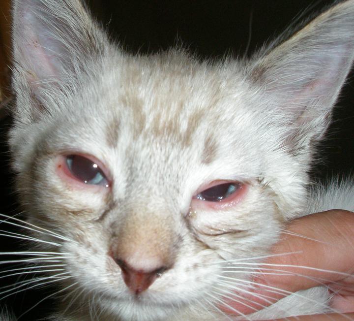 gatos-conjuntivitis-causas-cuidados
