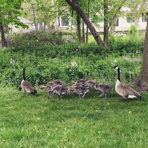 Goose family at The Village Green in Northbrook
