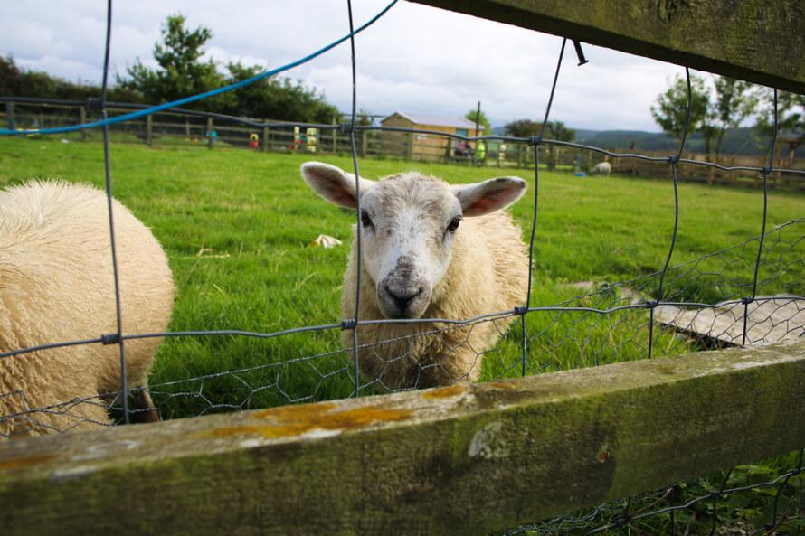 The Grainary Farm sheep