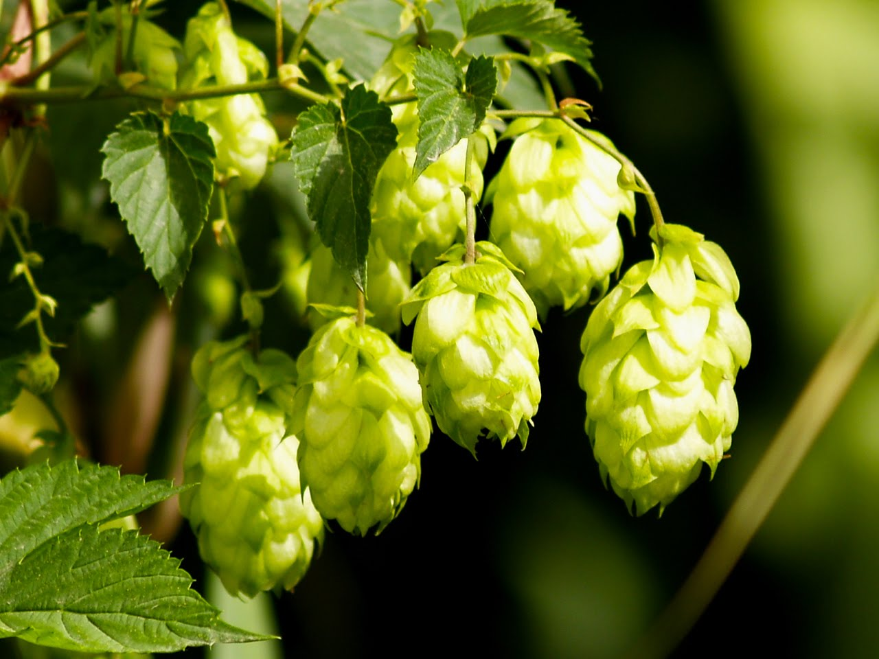 how to grow hops commercially