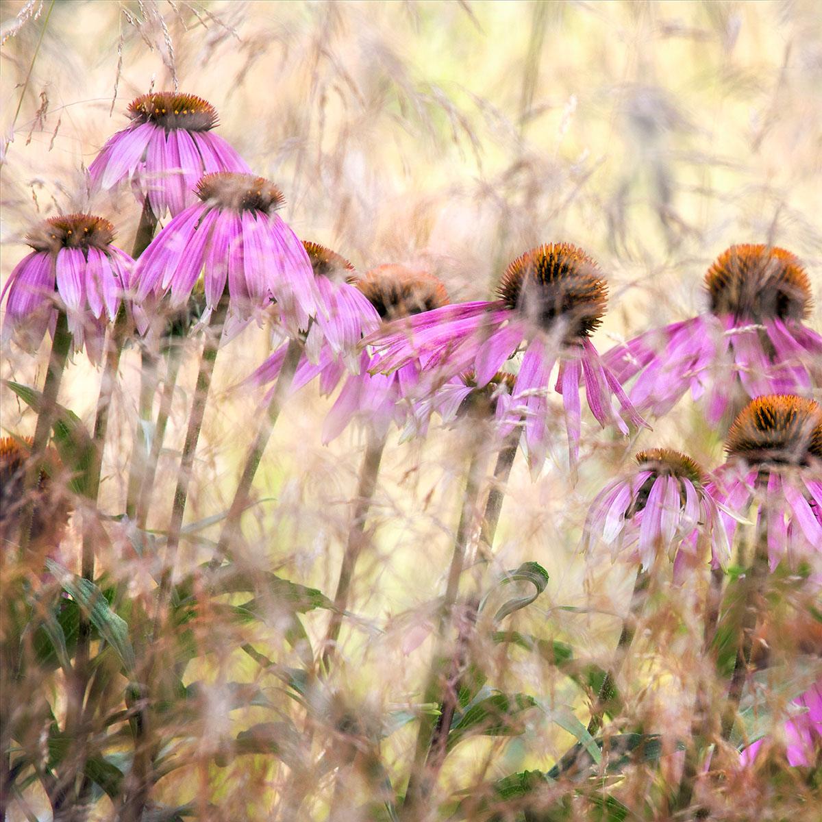 'Echinacea' Nigel Burkitt. Concurso Internacional de Fotografía de Jardín IGPTOTY N11