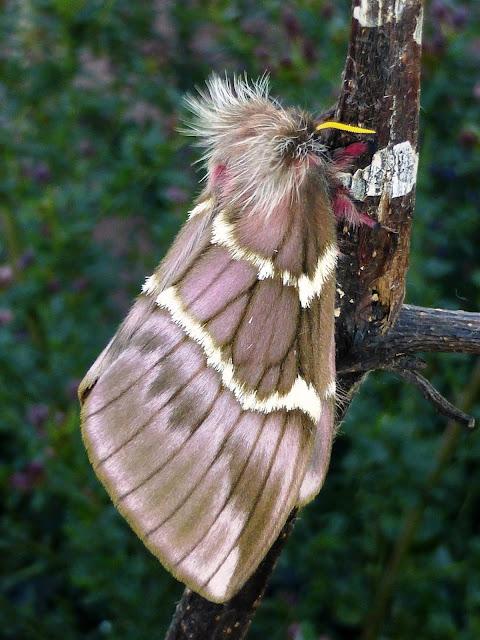 Paradirphia semirosea female