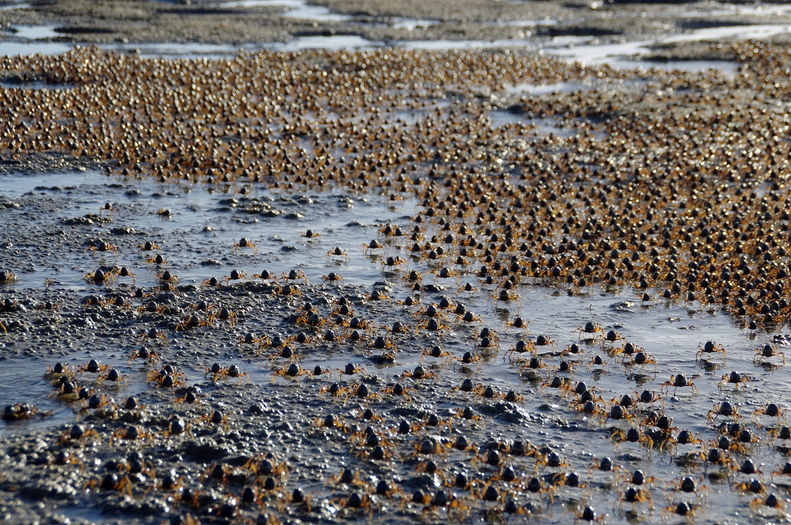 Thousands of crabs on Dunwich Beach Stradbroke Island