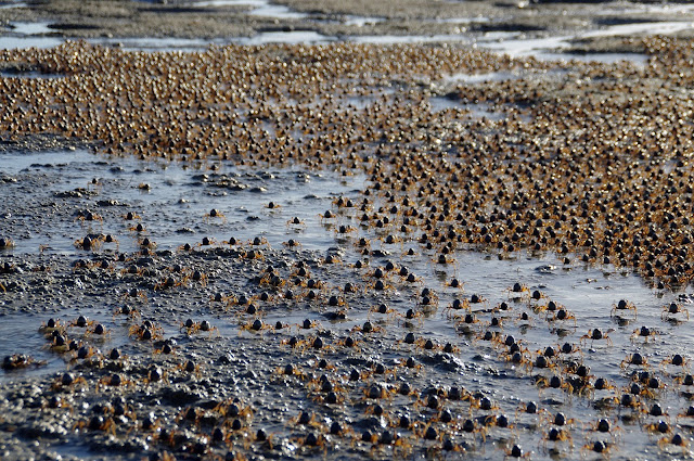 Thousands of crabs on Dunwich Beach Stradbroke Island